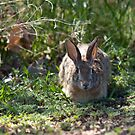 Desert Cottontail Bunny by Belle Farley
