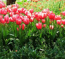 A sunny day and tulips! by rasim1