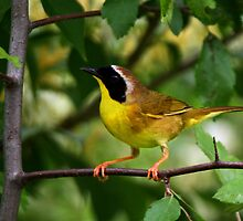 Common YellowThroat Warbler 9 by John Absher
