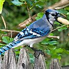 groucho the bluejay by marianne troia