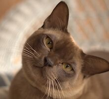 Dreamy Burmese by Juanita Marchesani