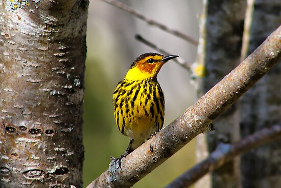 Cape May Warbler 2 by Teresa Zieba