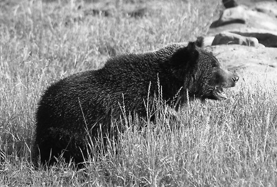 Grizzly Stare by Lisa G. Putman
