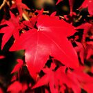 Red leaves by samhicks