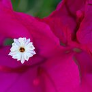 Bougainvillea by Margaret Barry