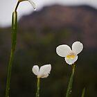 butterfly iris - tasmania by col hellmuth