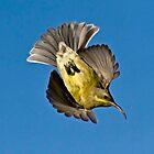 Sunbird stunt by wildshot