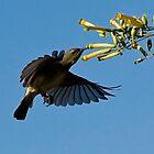 Female Lesser Collard Sunbird by wildshot