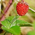 Wild strawberry by Igor Sinitsyn
