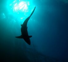 Grey Reef Shark by Sean Elliott
