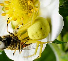 Yellow spider by igorsin