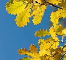 Yellow oak leaves by igorsin