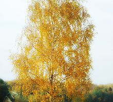 Birch tree by igorsin
