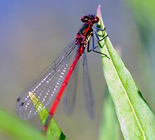 Small Red Damselfly by Stephen Maxwell