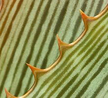 Aloe stripes by Etwin