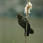 Female Red-winged Blackbird by eaglewatcher4