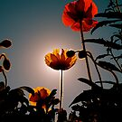 Corona Poppies by marc melander