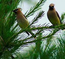 Cedar Waxwings in the Pines by eaglewatcher4