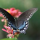 Eastern Black Tiger Swallowtail by Betty Maxey