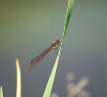 Red Damsel Fly #5 by Sandra Cockayne