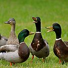 Mallard Barbershop Quackettes  by Monte Morton