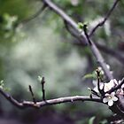 apple blossoms by CHRISTINA .  HARRISON