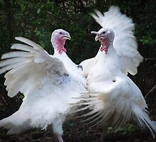 Two Turkey's Duking It Out by Jonice