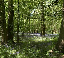 Bluebell wood 4 by JohnT