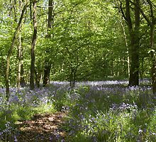 Bluebell wood 1 by JohnT