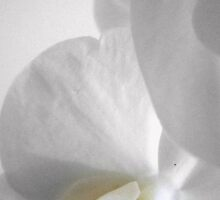 Elegant with an air of arrogance...the white orchid by yaana