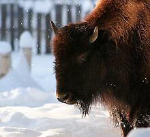 Bison VIII by Shawn Hansen