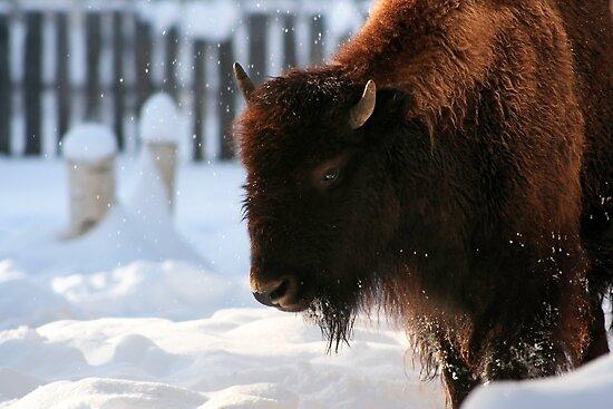Bison VIII by Shawn Hansen