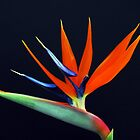 Bird of Paradise Flower by Donna O'Connor