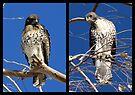 Redtailed Hawks ~ Final Goodbye by Kimberly Chadwick