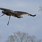Marty the Martial Eagle by Chris Raven