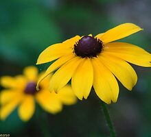 Black-Eyed Susan - Rudbeckia hirta by Lee Hiller