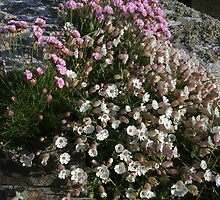 Thrift and Sea Campion by M G  Pettett