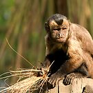 Spider Monkey, Orana Wildlife Park by Matthew Walters