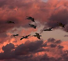 Pelican Sunset Flight by byronbackyard