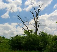 Dry tree and the blue sky,white clouds,the passing time,Hungary,Central Europe  by ambrusz