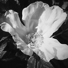 White dog rose in Mono by sarnia2