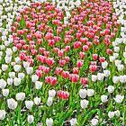 Tulip Heart by Intrepix