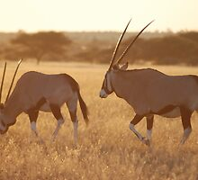 Gemsbok duo  by justbmac