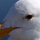 Bodega Bay Gull by Kirstyshots