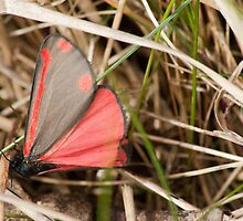 Cinnabar Moth by Hardabit