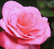 Marijke Koopman Hybrid Tea Rose by Robert Armendariz