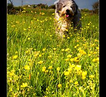 beardie in buttercups! by Jeanie