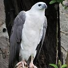 White Hawk by Nupur Nag