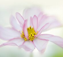 Spring Cosmos by Jacky Parker