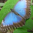 Blue Morpho butterfly by Jane Turnbull